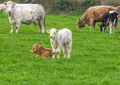 New inspections to check isolation of BVD animals in NI