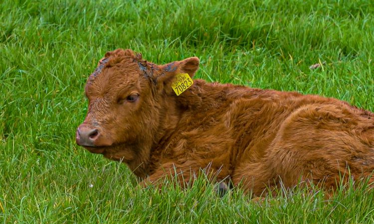 Controversy over PGI application for grass-fed beef is a 'great pity' – IFA