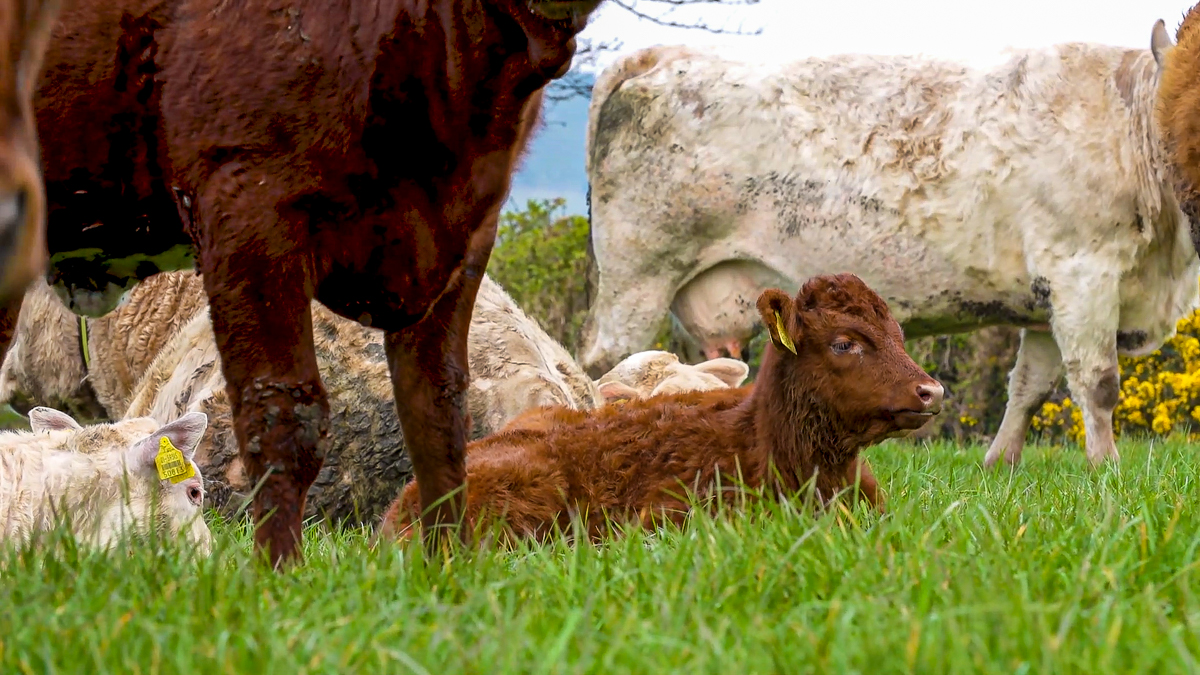 Study: Climate impact of grass-fed cattle herds 'may be overestimated'