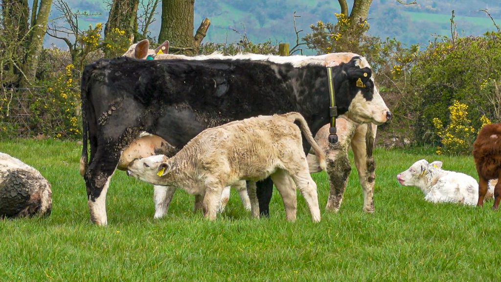 BSAS conference: What will our future beef farms look like?