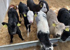 2020年春天,奶牛场的小牛得到了多betway客户端少钱?