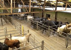 Cattle marts: Prices increase by '€30-40/head' for store cattle