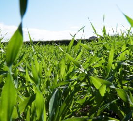 How to get to grips with herbicide-resistant wild oats