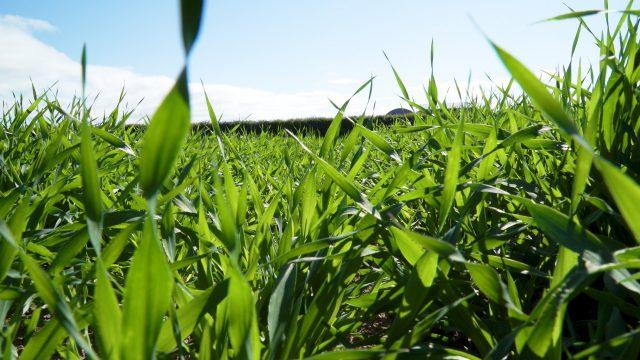 herbicide-resistant
