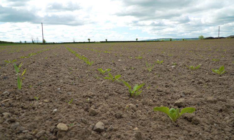 CROPS WATCH: Keep ahead of weeds in beet to ensure a clean crop