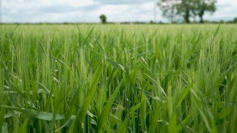 CROPS WATCH: Feeding winter barley to avoid disease
