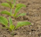 Management priorities for spring-sown crops