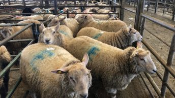 Sheep trade: Hogget quotes plummet, as spring lamb prices look set to come 'under pressure'
