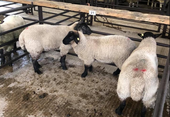 Sheep trade: No major change in quotes, as hogget supplies tighten further