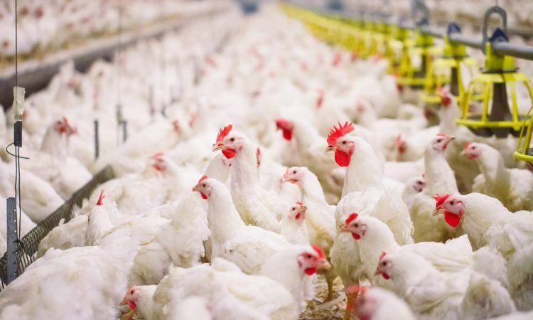NI academic awarded £250,000 to use crowd-tracking technology to improve broiler welfare