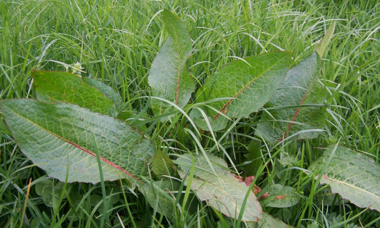 Choose the right products to control weeds in grazing pastures