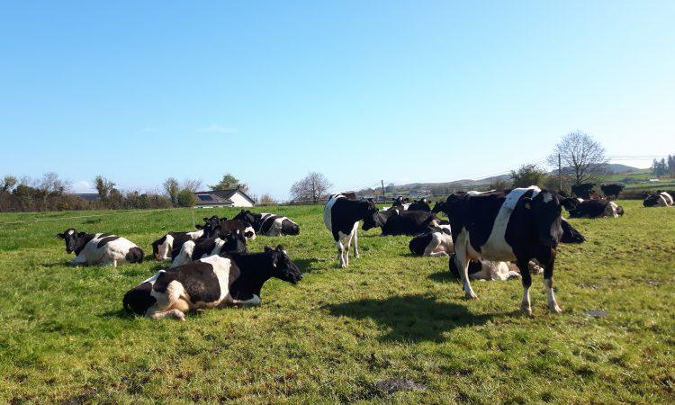 饲料添加剂升降机牛奶产量和固体在弹簧产犊乳畜群betway客户端