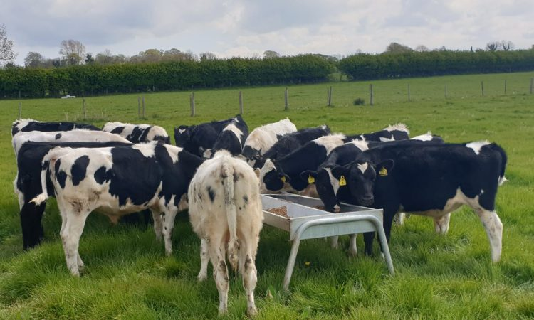 CAFRE to launch new dairy beef knowledge transfer project
