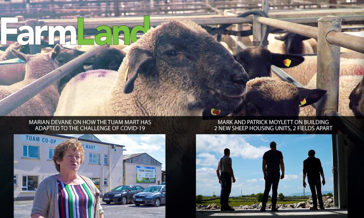 This week's FarmLand: The trade at Tuam Mart; plus the Moylett brothers' new grant-spec sheep sheds…