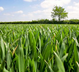 Incomes of tillage farmers down by 15% for 2020