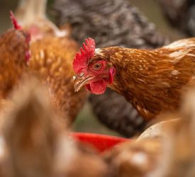Call for review of existing supports for poultry farmers affected by bird flu outbreaks