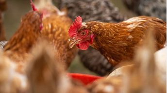Department introduces supports for bird flu-affected flocks