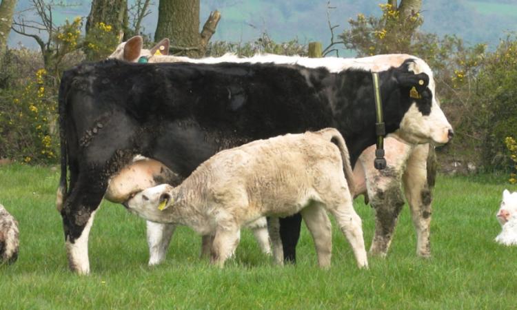 Suckler calf numbers bounce back