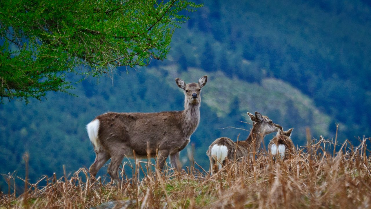 Trinity study links rising Sika deer populations to bovine TB outbreaks
