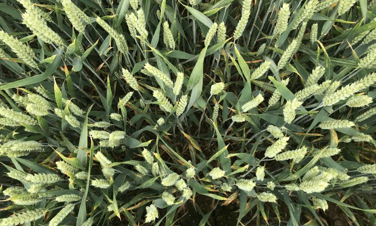 What's coming along in wheat varieties?