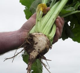 Sugar beet crops have a large potash requirement