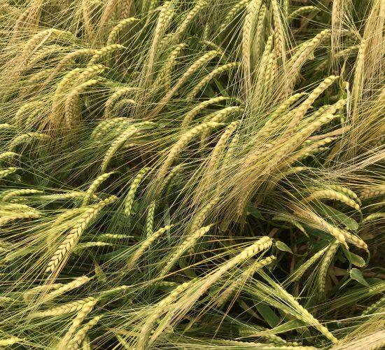 第一批大麦作物可能在7月中旬准备好用于联合收割机