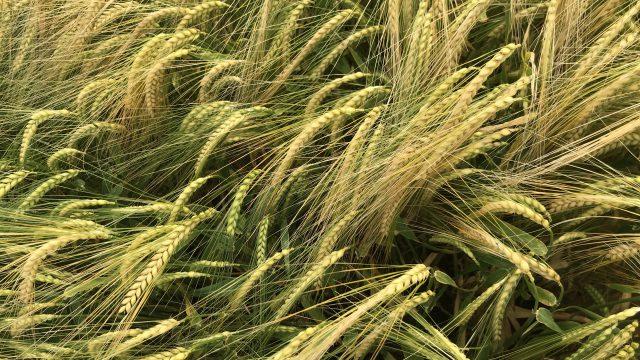 在7月中旬,第一家大麦作物可以准备好结合