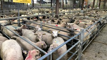 Sheep trade: Base quotes for lambs fall to €5.30/kg