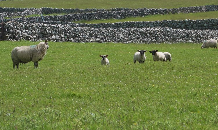 Sheep management: Prioritise good-quality grass for lambs