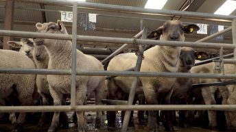 Sheep marts: Strong farmer interest for store lambs
