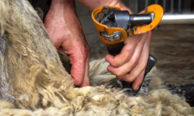 Video: Top tips on how to shear sheep