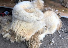 Merchants quoting 15-20c/kg for lowland wool; scotch wool quotes starting at 5c/kg