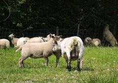 'There has been no word': Clarity sought on Sheep Welfare Scheme