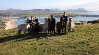 Donegal farmer blazes trail to create 'The Wild Alpaca Way'