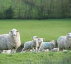 Take full advantage of buoyant lamb prices – CAFRE