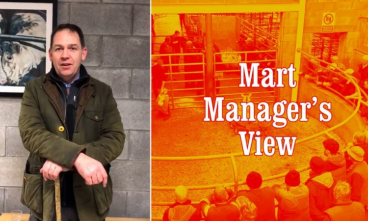 Record breaking throughput of cattle at Carnew Mart