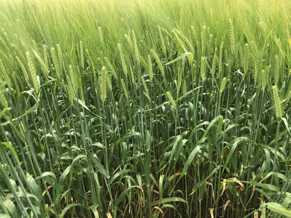Trace element deficiency in cereal crops