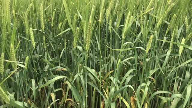Spring barley: It's a tale of planting dates