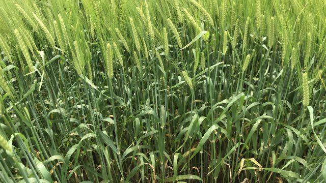 针对所有大麦作物的最终杀菌剂应用的目标GS 49