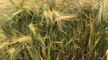 Patriotic winter barley varieties for autumn 2020