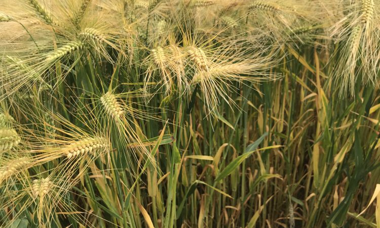 Patriotic winter barley varieties for autumn 2020