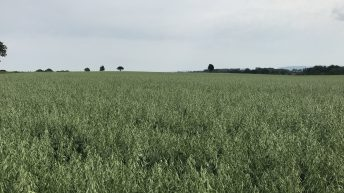 One new spring oat variety on the cards for next season
