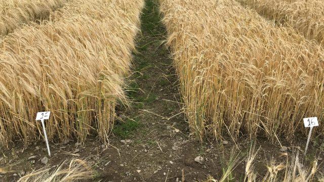 Barley harvest underway in Northern Ireland