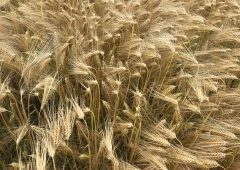 The weather outlook as farmers prepare to harvest winter barley