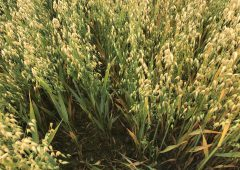 Fertiliser recommendations for winter oat crops