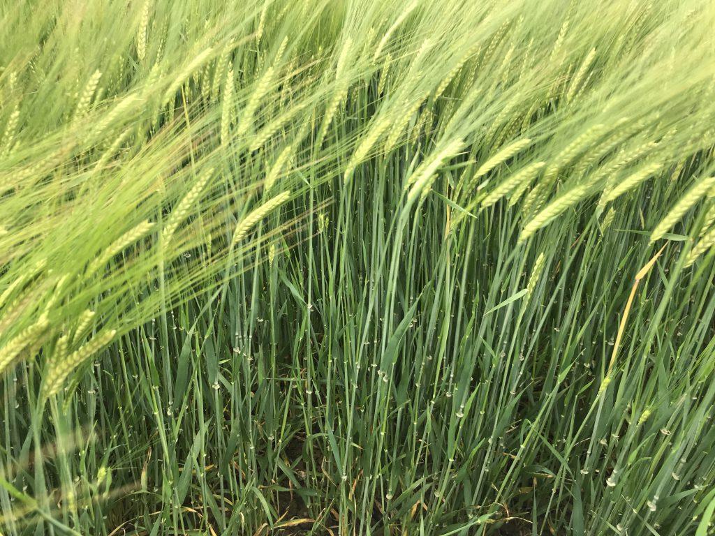 Controlling barley yellow dwarf virus in spring barley crops
