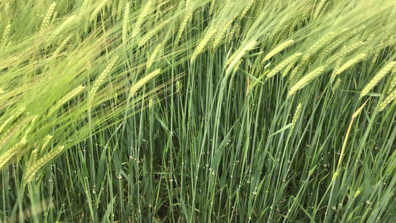 The impact of liquid nitrogen on malting barley crops