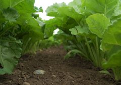 CROPS WATCH: Smart beet due fungicide