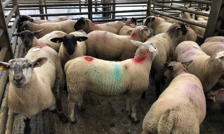 Sheep trade update: 'Tight supplies' see lamb prices move in the right direction
