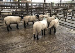 Sheep trade: Lamb quotes holding around the €5.30-5.40/kg mark